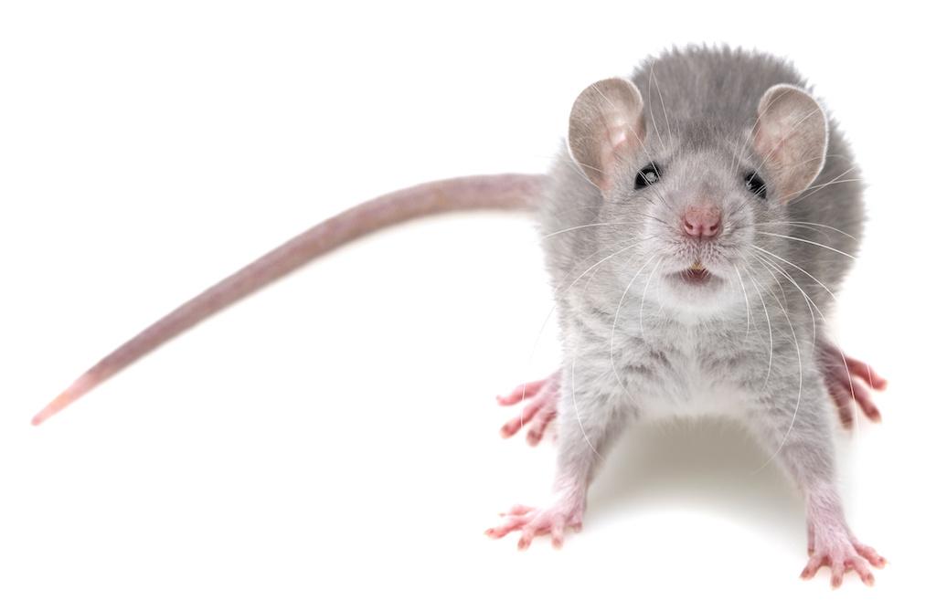 「ネズミ」の画像検索結果
