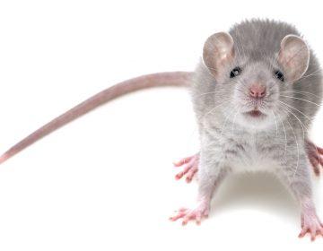 家に出る3種類のネズミについて